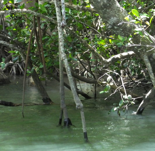 Mangrove roots submerged in water